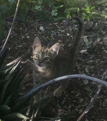Hadassa-Kitten